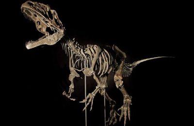 Ο σκελετός μήκους άνω των εννέα μέτρων πιθανώς ανήκει σε ένα άγνωστο έως τώρα σαρκοβόρο είδος αλλόσαυρου