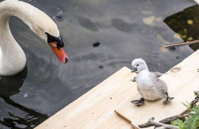 Το υδρόβιο πτηνό θεωρήθηκε μια λιχουδιά για τα βασιλικά εδέσματα