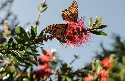 Εξαιρετικά χρήσιμα έντομα είναι οι πεταλούδες, καθώς δρουν ως δείκτες της υγείας ενός οικοσυστήματος και γονιμοποιούν τα λουλούδια.