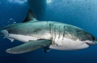 Ο λευκός καρχαρίας έχει αναπτύξει στην πορεία της εξέλιξης ανώτερες αμυντικές και αντικαρκινικές ικανότητες