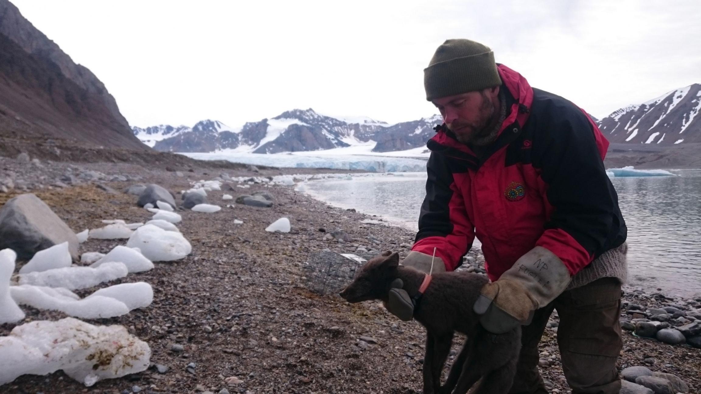 Η αρκτική αλεπού στον τελικό της προορισμό