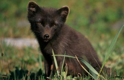 Οι αρκτικές αλεπούδες είναι ιδιαίτερα ανθεκτικά ζώα και μπορούν να ζήσουν σε θερμοκρασίες μέχρι και -50 βαθμούς Κελσίου