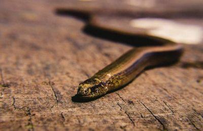 «Τα δύο φίδια είναι τόσο ξεχωριστά που δυσκολευόμαστε να τα κατατάξουμε σε κάποια γνωστή οικογένεια και καταλαβαίνουμε αμέσως ότι είναι κάποια καινούργια είδη».