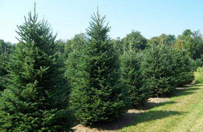 Τα δέντρα που θα διατεθούν προέρχονται από αραιώσεις δασικών φυτειών στα πλαίσια δασοκομικών χειρισμών.