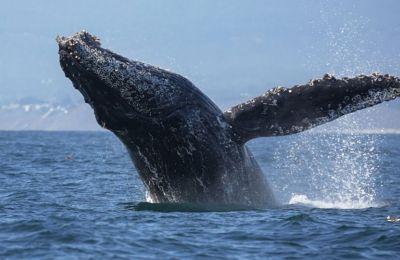 Οι επιστήμονες μπόρεσαν να παρακολουθήσουν πώς μεταβάλλεται διαχρονικά ο χτύπος της καρδιάς, όταν η φάλαινα βρίσκεται μέσα στο νερό για να φάει