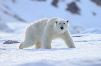 Ο οικισμός, όπου κατοικούν περίπου 500 άνθρωποι, βρίσκεται κοντά στις ακτές του Αρκτικού Ωκεανού, απέναντι από το νησί Βράνγκελ, το «μαιευτήριο» των πολικών αρκούδων