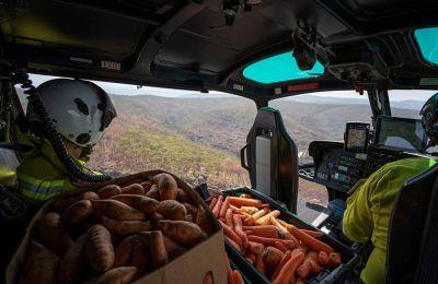 Το Εθνικό Πάρκο της Νέας Νότιας Ουαλίας και η Υπηρεσία Άγριας Ζωής ξεκίνησαν πρόσφατα να πετούν από αέρος χιλιάδες κιλά καρότων και γλυκοπατάτας σε περιοχές όπου ζουν καγκουρό γουάλαμπι