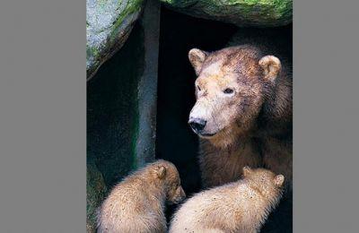 Δύο πολικά αρκουδάκια και η μητέρα τους, φωτογραφημένα στις 3 Μαρτίου έξω από τη φωλιά τους, σε ζωολογικό κήπο της Δανίας.