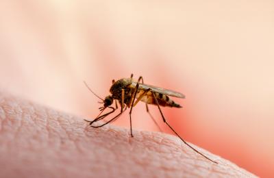 Διαπιστώθηκε ότι ο SARS-CoV-2 δεν μπορούσε να επιβιώσει και να αναπαραχθεί μέσα στα κουνούπια και στα άλλα έντομα